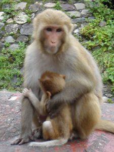 rishikesh-monkey2